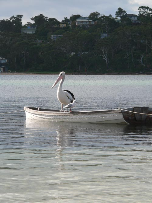 Merimbula Pelican and Gull in Boat