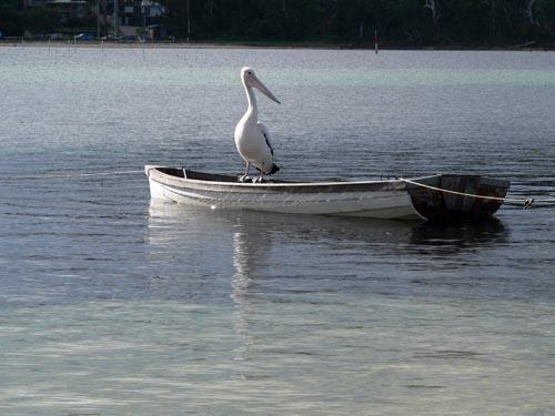Merimbula Pelican