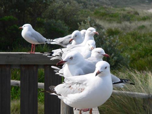 Merimbula Seagulls